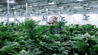 Photo with cannabis plants in the foreground, and an employee wearing protective eyewear and a bandana behind them, working under the UV lights in a grow room.