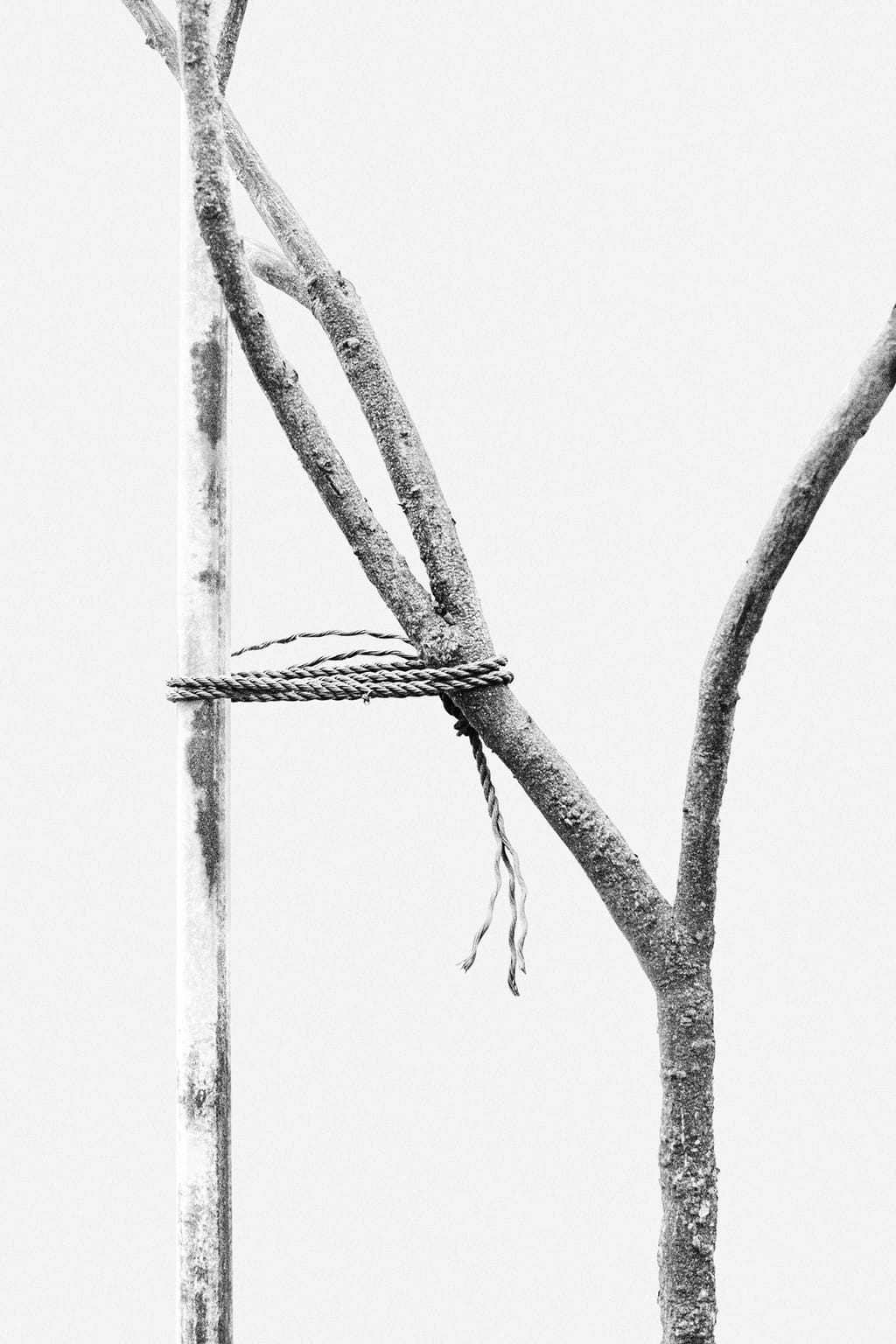 Black and white photo of a tree tied to a wooden branch, supporting it; against a white background.