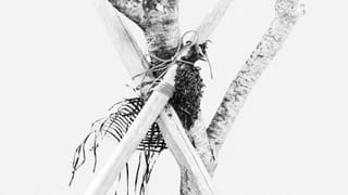 Black and white photo of a tree protected with gauze and supported by two wooden sticks that are tied to it; against a white background.