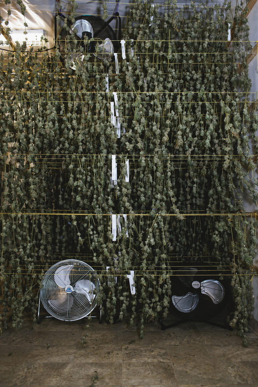 Photo of strings containing branches of cannabis hung to dry, with fans placed above and below.