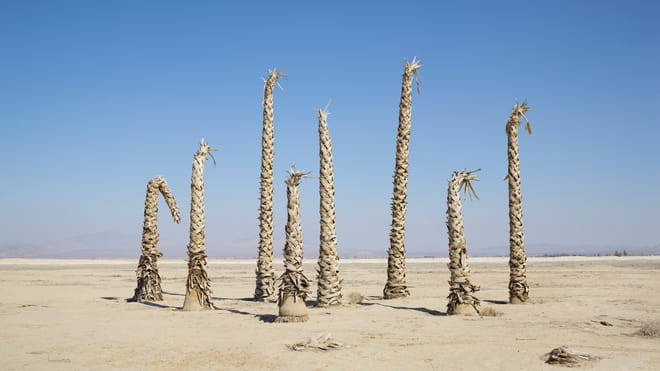 Dried-out leave-less palm trees stand in a landscape of sand against a blue sky