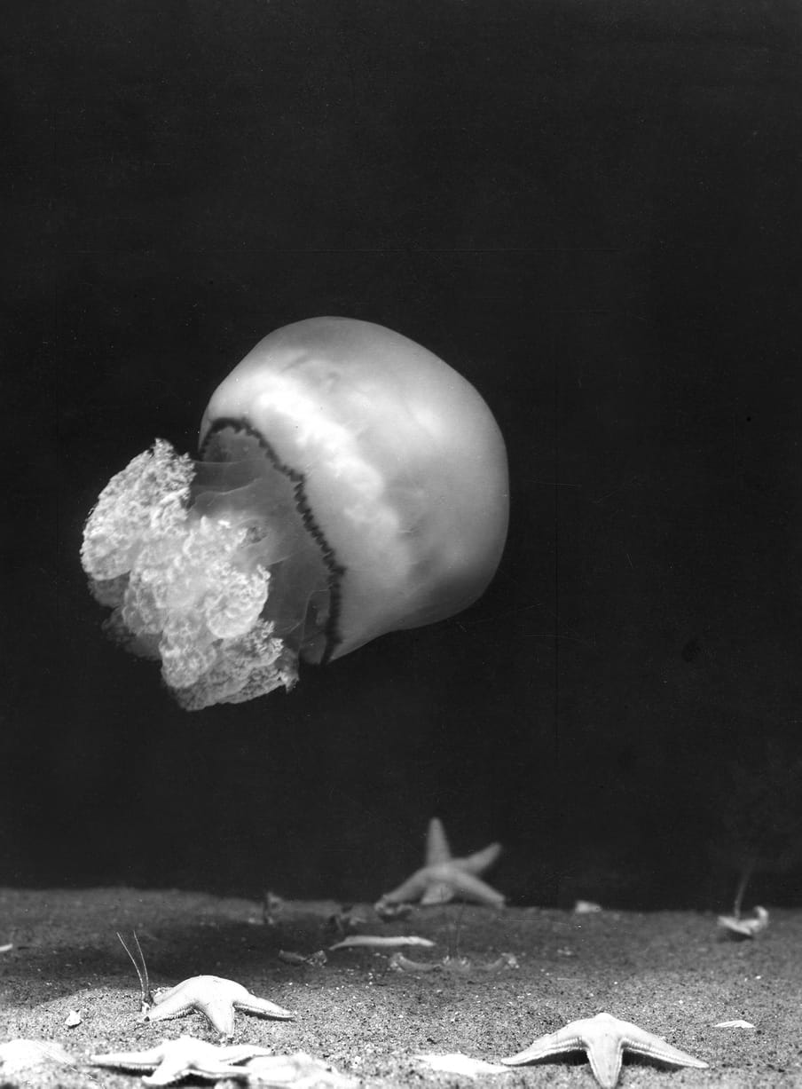 Black and white photo of a jellyfish