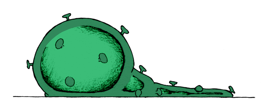 Illustration dominated by a green, round virus husk in semi-deflated state, placed on a thin, straight, black line. We see its large round shape on the left hand side of the image. The circle is slightly flat against the ground. It consists of a dark-green husk with a lighter shade of green dominating the middle and with nail-shaped dots sticking out from the shape. The husk's deflated tail spans the image to the edge of the right side.