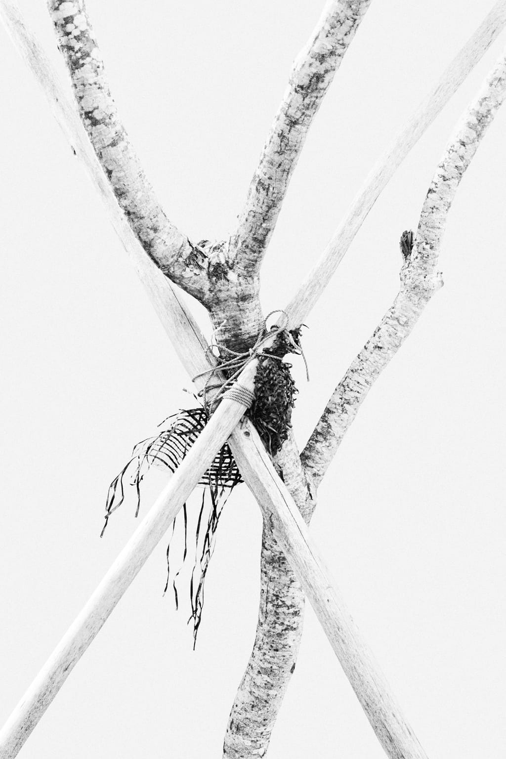 Black and white photo of a tree tied to several wooden branches, supporting it and protected by gauze; against a white background.