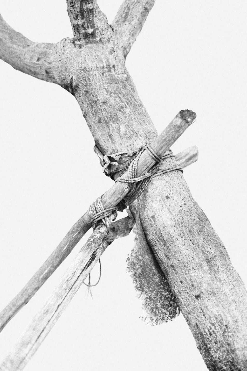 Black and white photo of a tree tied to a construction of wooden branches, supporting it and protected by gauze; against a white background.