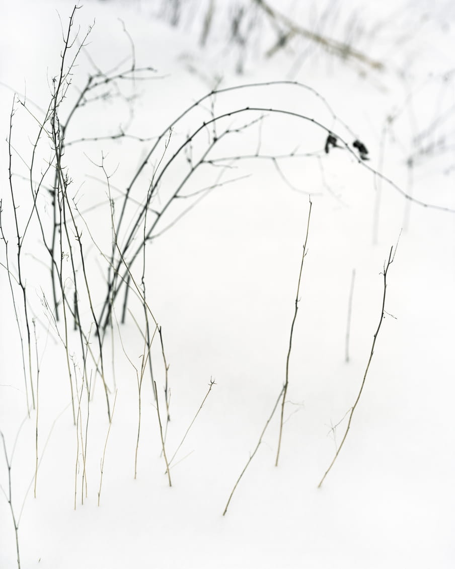 Delicate branches coming out of the snow.