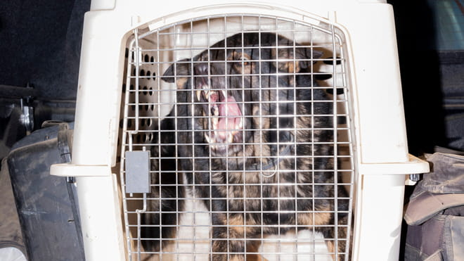Snarling dog locked in a white cage made of solid plastic. The cage's door is made from thin, metallic bars and has a thick, silver-coloured, rectangular lock.