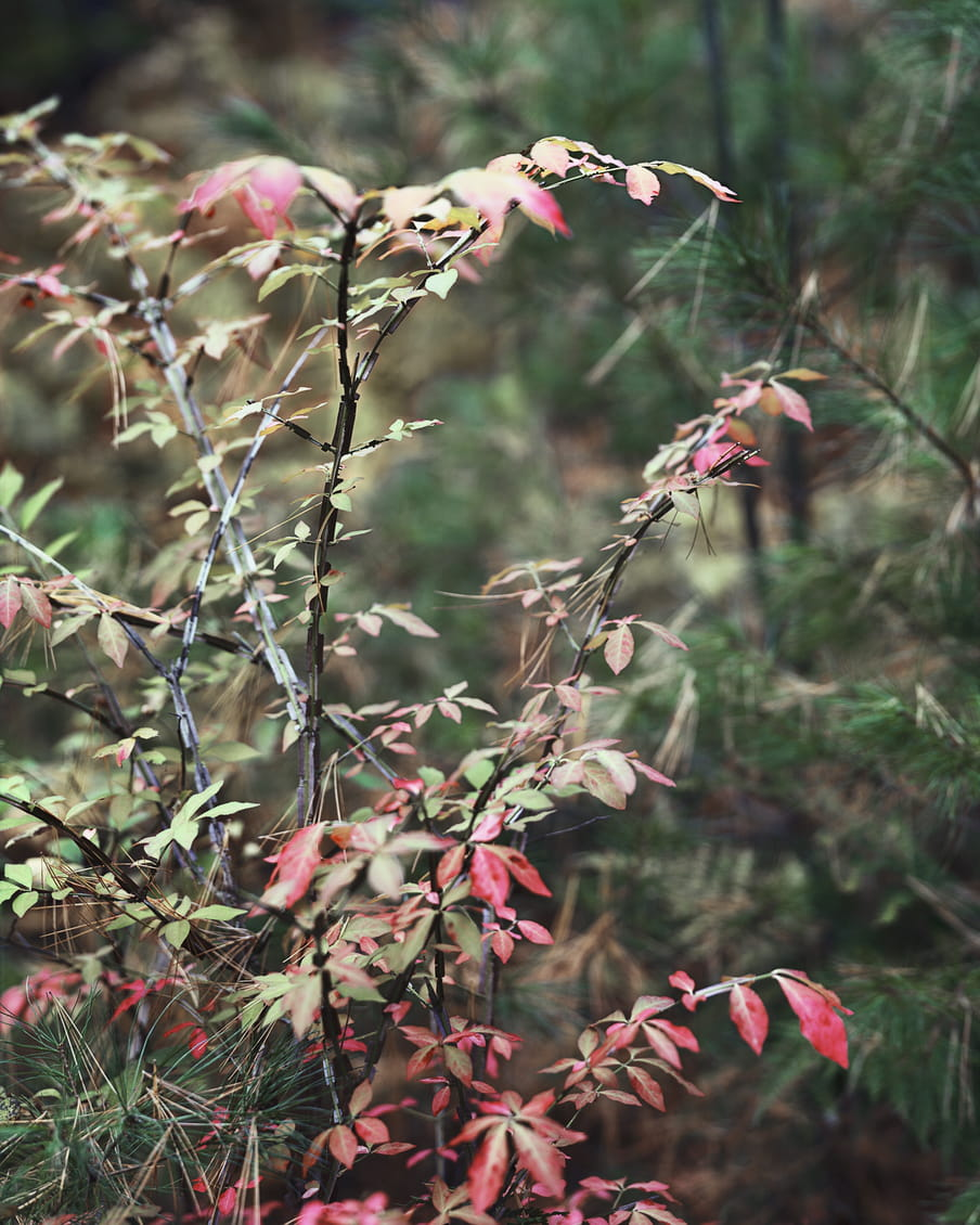 Photograph showing branches with red and green leaves subtly entangled with pine branches.