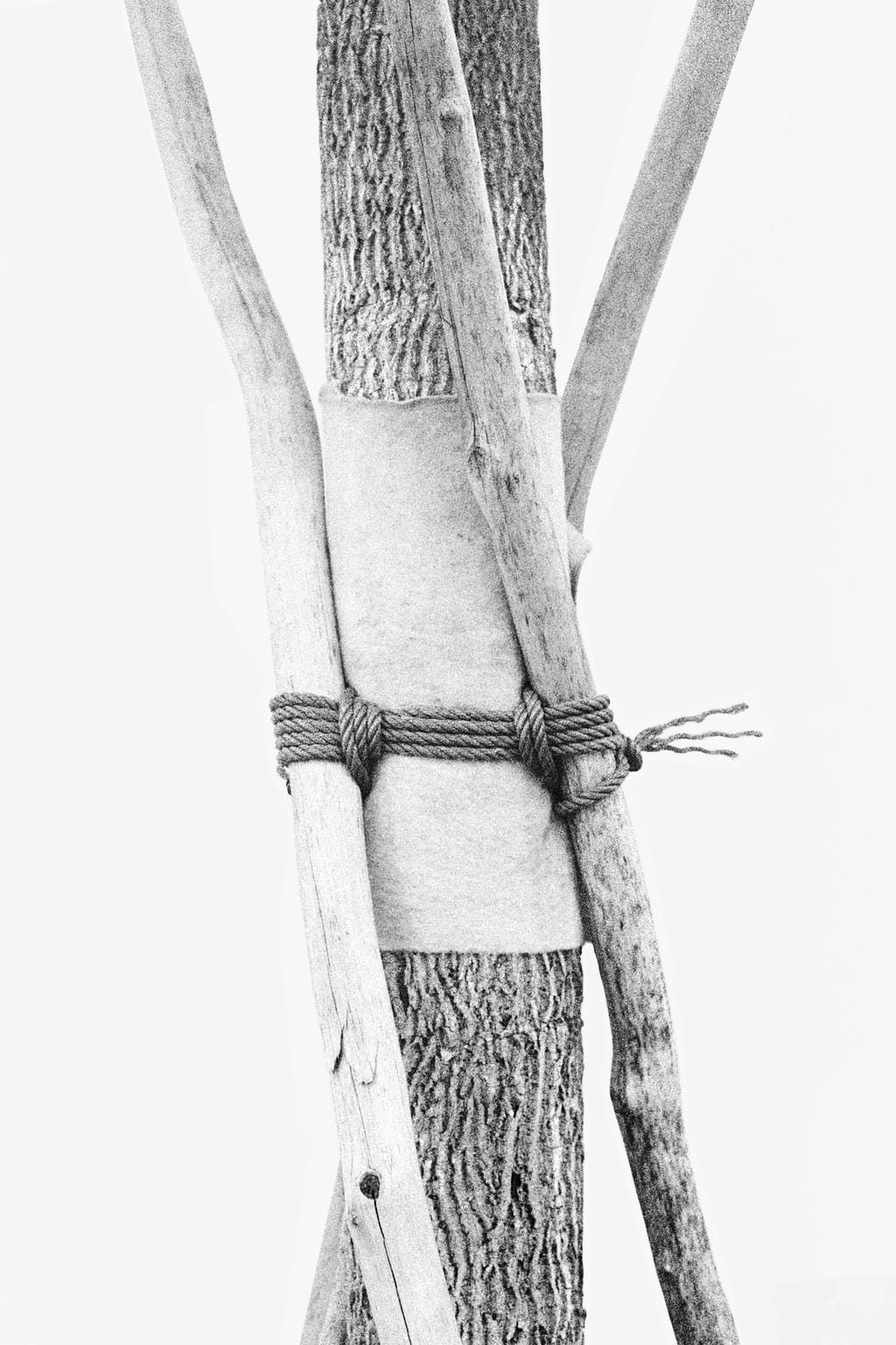 Black and white photo of a tree tied to several wooden branches, supporting it and protected by pieces of fabric; against a white background.