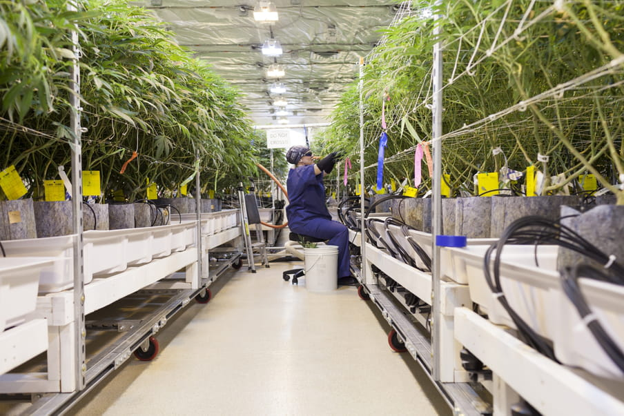 A woman with her hair concealed in a dark blue bandana wears sunglasses, earrings and a dark blue smock uniform, sits on a swivel chair with a bucket to her side. She is in the middle of an aisle of cannabis plants, which are held in trolley shelves. With her large black gloves she is picking at one of them to the right. A sign says 'do not cross!!' behind her.