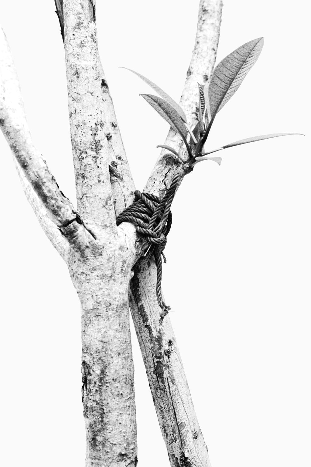 Black and white photo of a tree tied to a wooden branch, supporting it; against a white background. One of the branches of the tree has a young branch growing out of it.