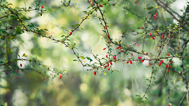 Against a blurry green backdrop of trees, we see a bright close up of branches with small green leaves and bright red berries, the branches meeting in the middle of the picture to form a diamond shape.